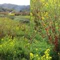写真: 花見山公園菜の花2