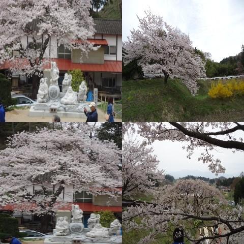 写真: 中島の地蔵桜4