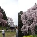 写真: 合戦場の桜2
