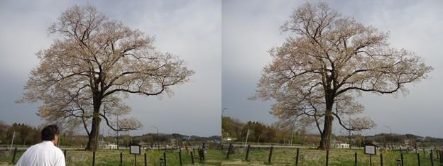 写真: 万燈桜