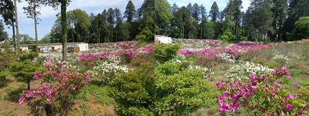 千葉の芝桜4