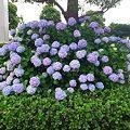 写真: 綺麗に咲いたアジサイ