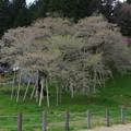 Photos: IMGP9671 高山市の臥龍桜その1
