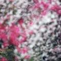 春色:枝垂れ梅13