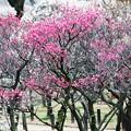 梅の小道:梅林23