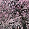 お花見:梅林18