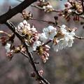 写真: ♪咲き始め~玉川園