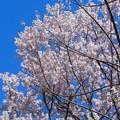 写真: 駒沢大学の桜^^