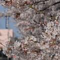 福岡県道56号の桜並木