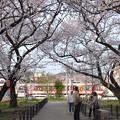 桜並木を渡る