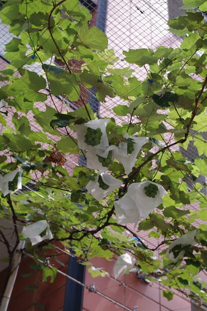 Photos: ヒルズのブドウ…収穫したらどうするんだろ?