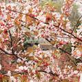 桜と電車その3