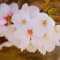 Photos: 朝焼けに、咲く 03