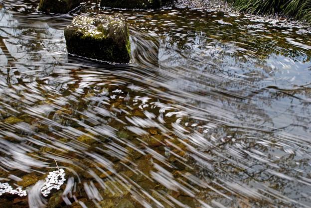 写真: 流れ行く花筏