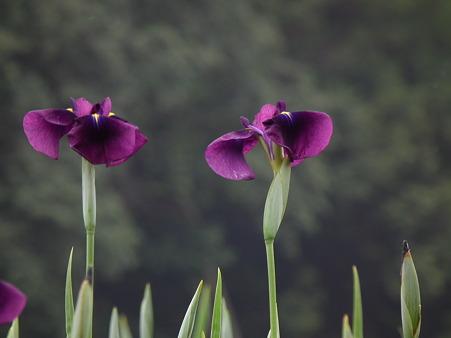 7北山公園・花菖蒲