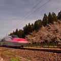新幹線開通記念植樹の桜