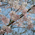 Photos: さくら 桜