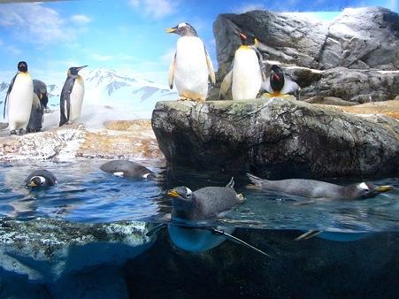 20111223 鴨川 水中ジェンツー01
