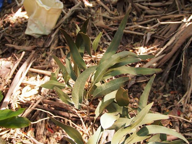 ユーカリ Eucalyptus sp. 葉