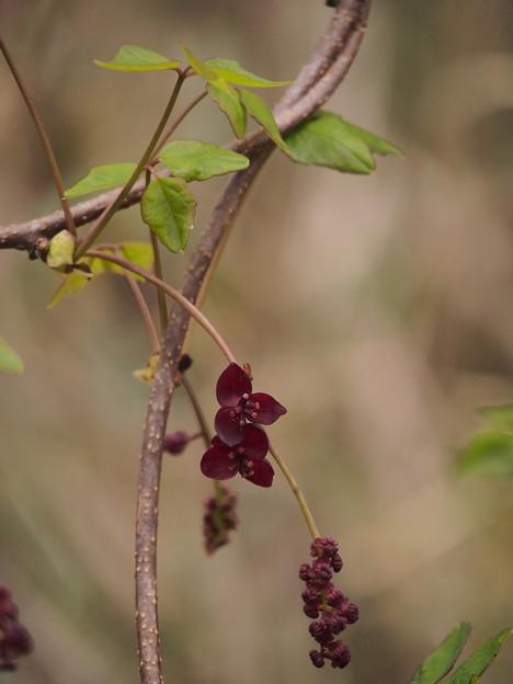 ミツバアケビ Akebia trifoliata