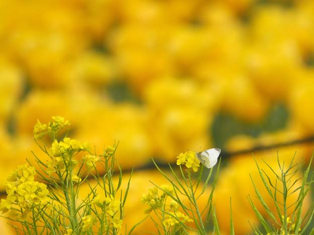 写真: 黄色い恋
