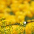 Photos: 黄色い恋