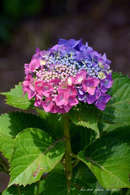 不思議な紫陽花