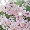 2015桜_仙台堀川公園2