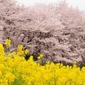 2015桜・菜の花_幸手3