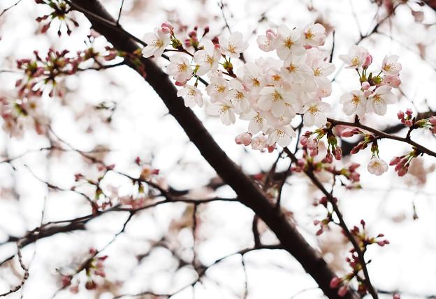 2015桜_福生1