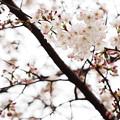 Photos: 2015桜_福生1