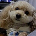 Photos: 犬 トイプー カメラ目線