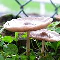 写真: 庭のキノコ