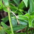 写真: 少年カマキリ 枝に擬態