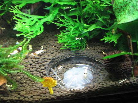 20150314 60cmエビ水槽のエビ達