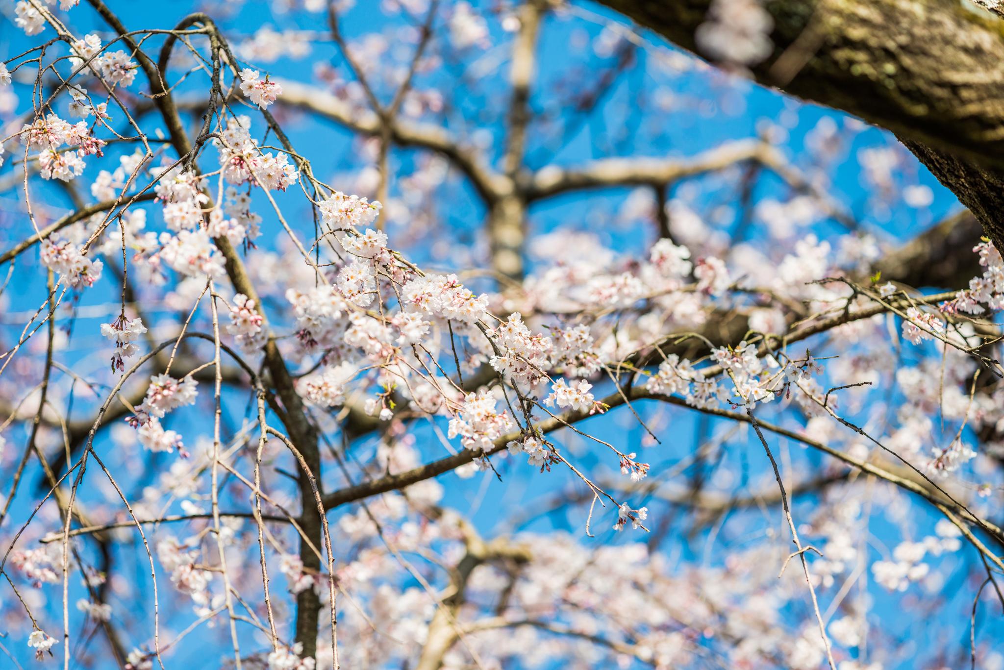 宝珠寺のしだれ桜-10