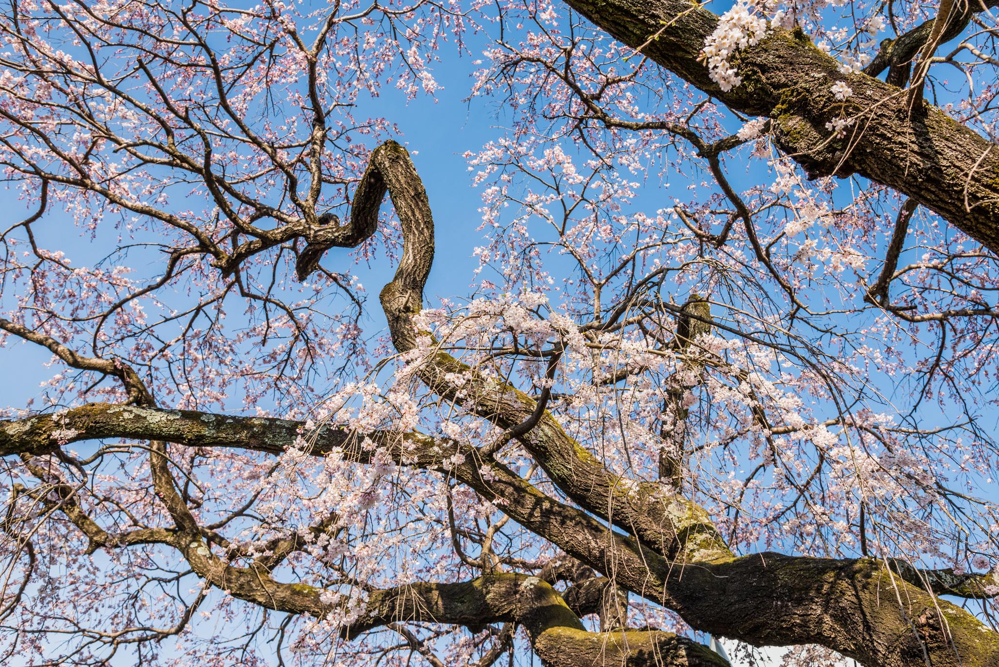 宝珠寺のしだれ桜-12