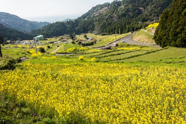 江里山の菜の花