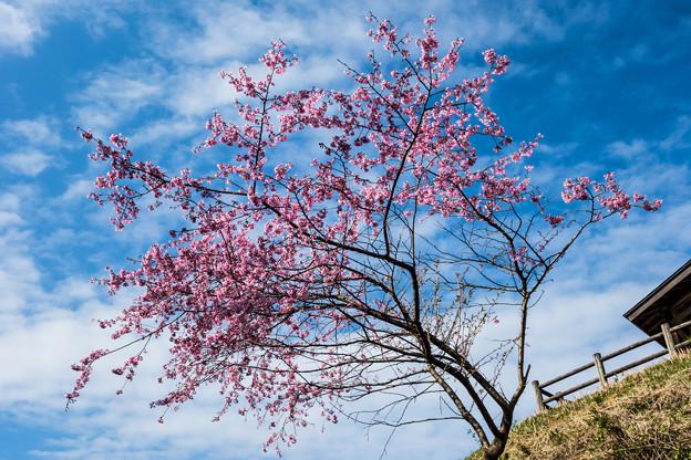 江里山の桜