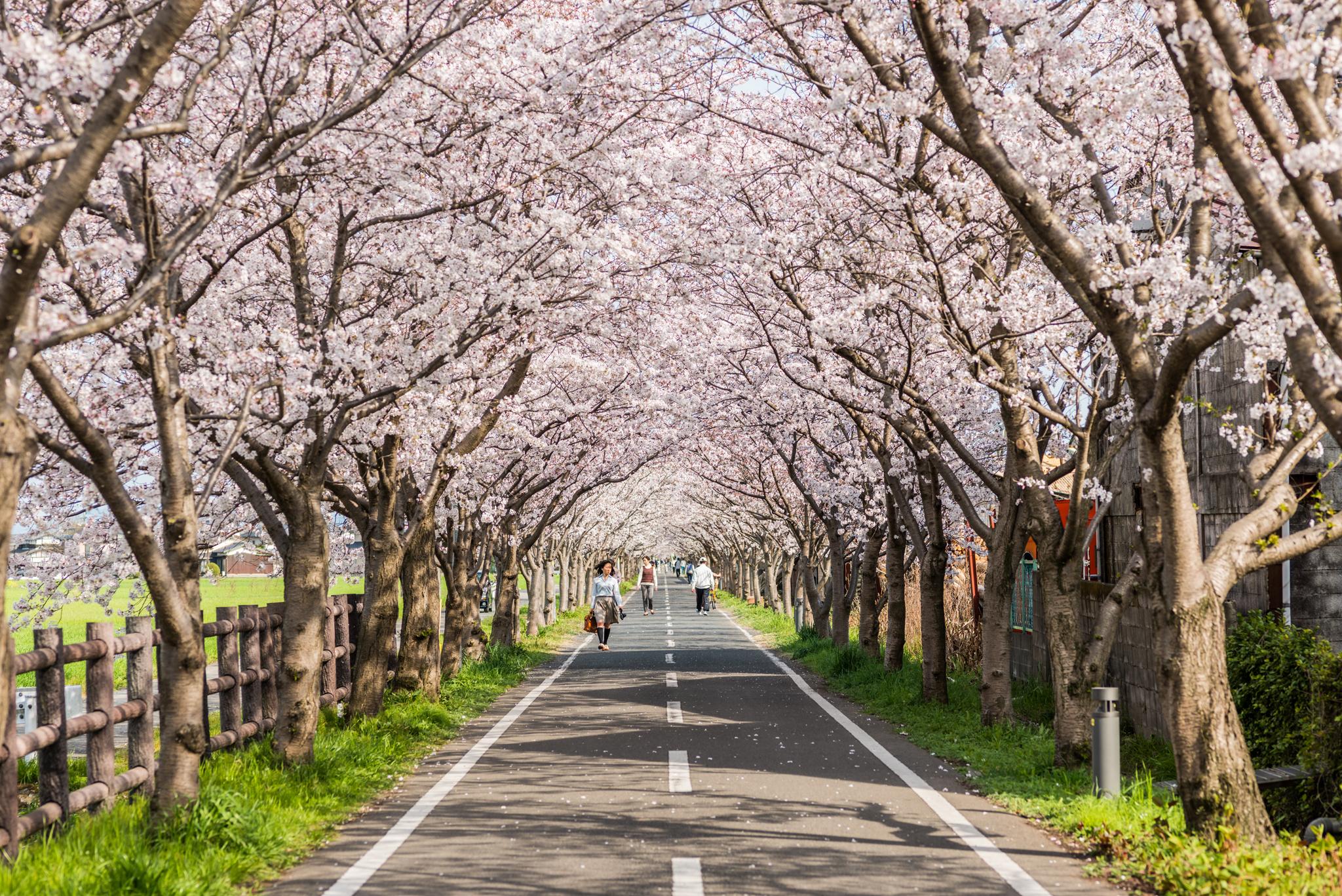 桜のトンネル-2