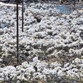 Photos: 巷の花たち・・梨、花の絨毯
