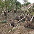 写真: 倒木風景