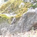 岩に張り付くコゲラ~