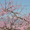 桃の花から吾妻連峰が~