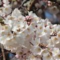 1287初々しい桜花の円明寺