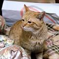 写真: 2009年03月05日の茶トラのボクチン(4歳)