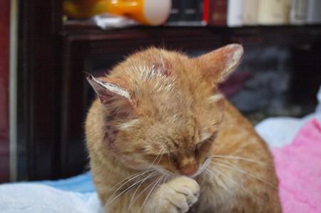 2010年03月09日の茶トラのボクチン(5歳)が頭部を怪我して田七末を塗りたくっている