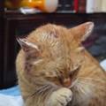 写真: 2010年03月09日の茶トラのボクチン(5歳)が頭部を怪我して田七末を塗りたくっている
