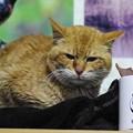写真: 2012年03月10日の茶トラのボクチン(7歳)