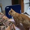 写真: 2009年03月14日の茶トラのボクチン(4歳)